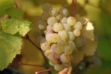 Riesling_grapes_leaves.jpg